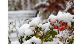 Fák, bokrok, cserjék télen