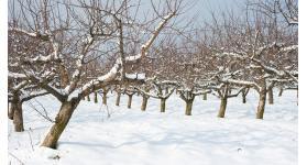 Gyümölcsfáink januárban